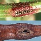 serangga gallmaker
